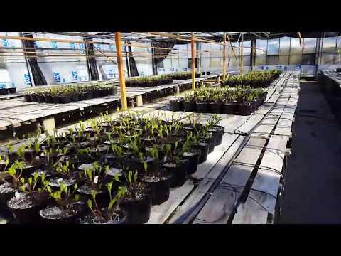 Hydrangeas At Lynde Greenhouse & Nursery