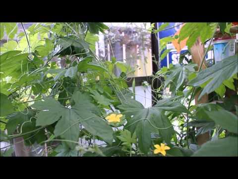 Growing Bitter Melon