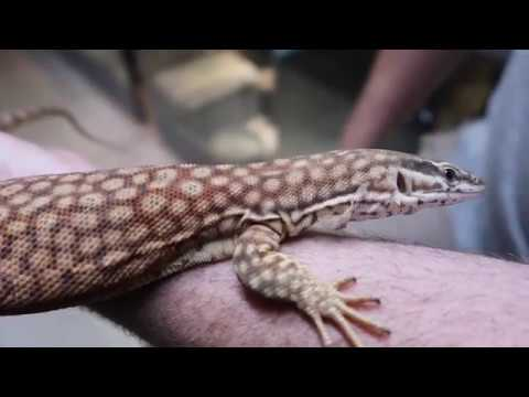 Rare Aussie Monitors & More! Keepers Collections: Ep3 Preview