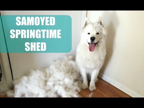 Meeko's Spring Shed Vlog | Samoyed Puppy Blows Her Coat