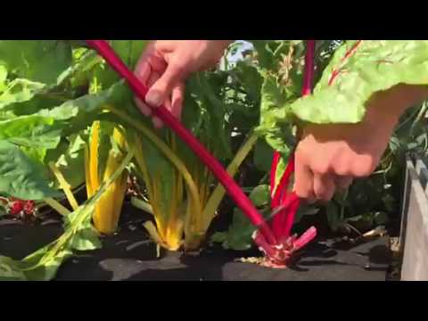 How to Harvest Swiss Chard
