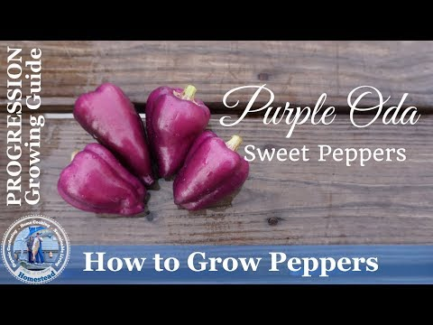 How to Grow Purple Oda Sweet Peppers