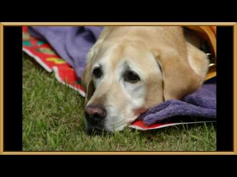 Guide Dog for the blind - retired