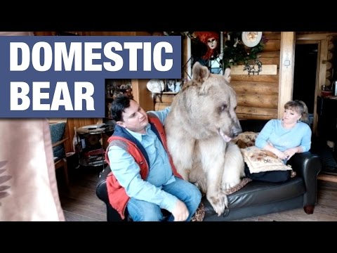 Domesticated 7ft Bear Lives With Russian Couple