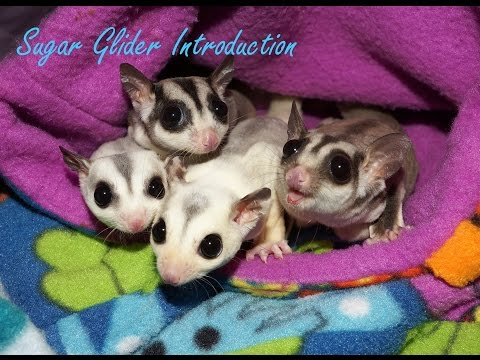 Introducing Sugar Gliders in a Pouch Method