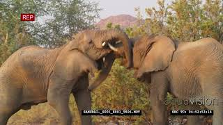 African Elephant Tussle | HD Stock Footage