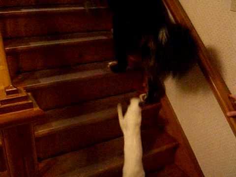 The carnage: Siamese cat terrorizes Bernese mountain dog