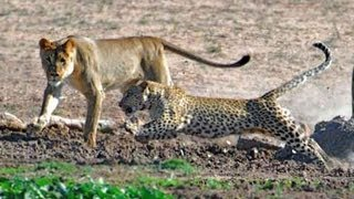 Leopard vs Lion Pride (Leopard has no respect for lions)