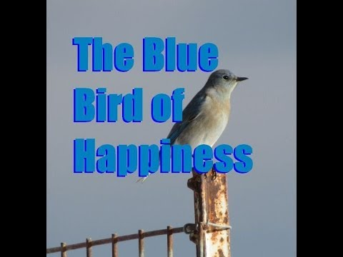 Rocky Mountain Bluebird Facts and Footage - Sialia currucoides