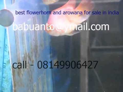 best flowerhorn fish and arowana fish for sale in India