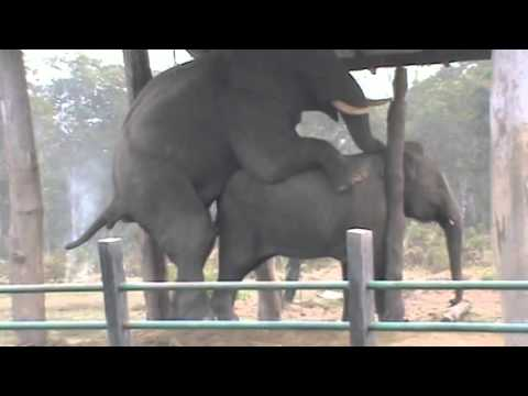 Xxx Mp4 Breeding With Wild Elephant In Chitwan National Park 3gp Sex