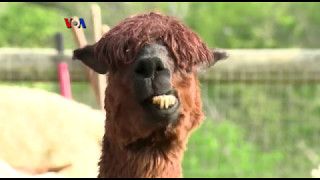 Peternakan Alpaca Makin Populer di Amerika - Liputan Feature VOA