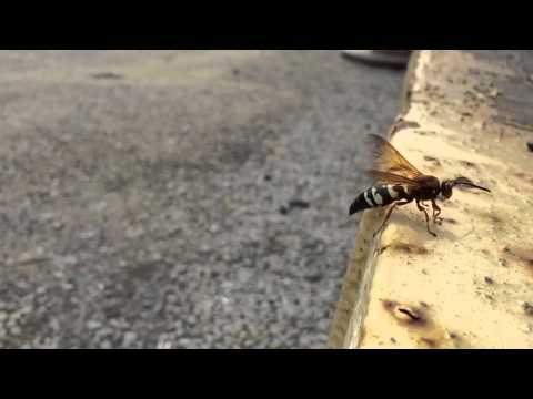 Male cicada killer wasp in slow motion