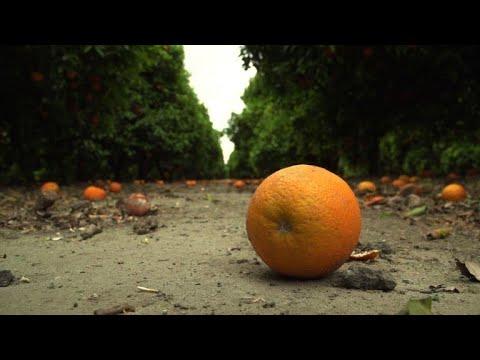 California fighting to save disease-threatened citrus trees