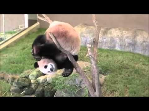 Why pandas are endangered