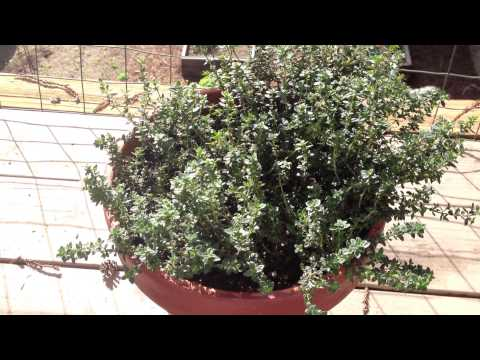 Advantages to Growing Thyme Herb in Pots