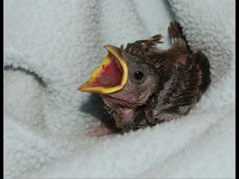Hand Feeding Wild Baby Bird