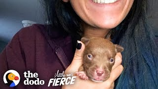 Download Tiniest Puppy Transforms Into A GIANT Pit Bull | The Dodo Little But Fierce Video
