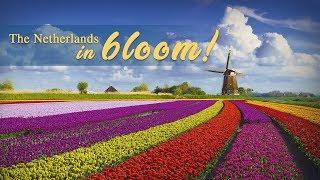 Live: The Netherlands in bloom! 满园春色惹人醉,空中俯瞰荷兰郁金香花田