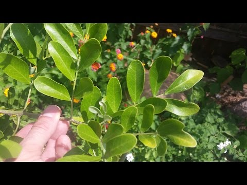 What's wrong with my mountain laurel |Daphne Richards |Central Texas Gardener
