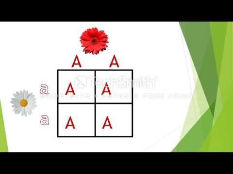 Punnett Squares Set Up with Homozygous Cross