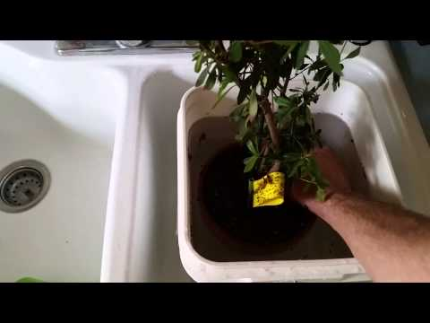 A quick plant dunking video