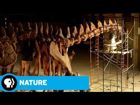 NATURE: RAISING THE DINOSAUR GIANT | Dino Skeleton Timelapse | PBS
