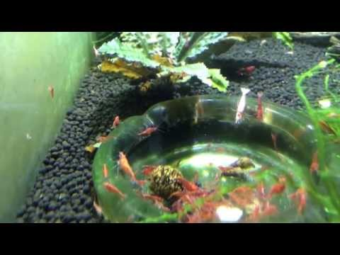 How to Breed Shrimp: Food Type and How Often