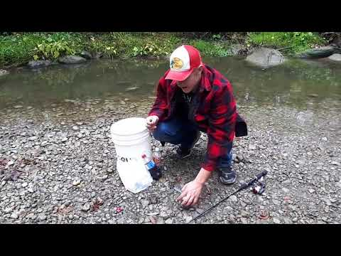 MICRO FISHING: Catching, growing and keeping creek Chubs and minnows  for walleye bait