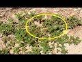 لو رأيت هذا النبات في حديقة منزلك ، لاتحاول قطعه بأي حال من الأحوال!!  شاهد السبب