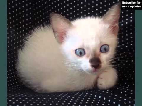 White Burmese Kittens | Picture Ideas Of Cats