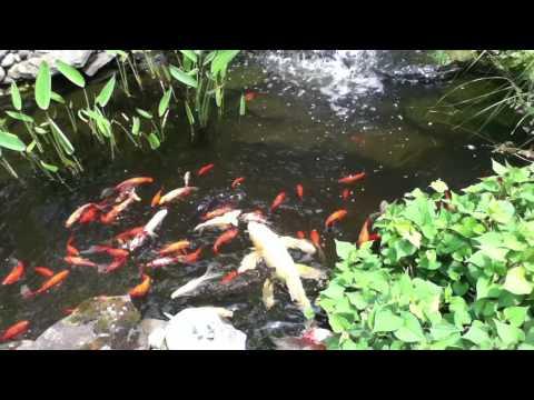Feeding goldfish and koi in our backyard garden pond