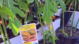 Nursery tour, Tropica Mango Rare And Exotic Tropical Fruit
