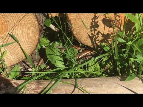 Huge Pair Of Six Lined Racerunner Lap Lizards Male And Female