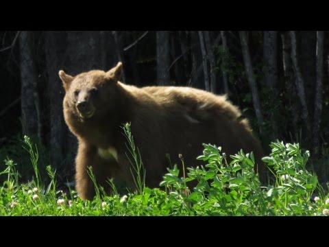 Alaskan Highway traveling through Muncho Lake , Amazing Wildlife up close