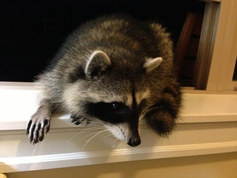 Cute Baby Raccoon Noises - Closeup