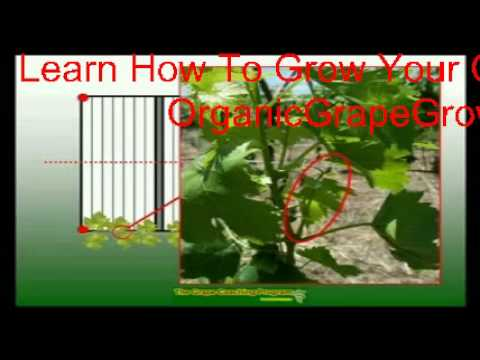 Learn How To Grow Grapes On A Grape Arbor - DIY