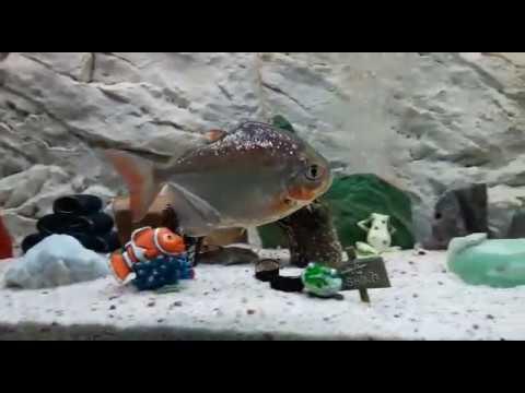 Silver Dollar Fish laying Eggs