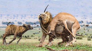 MALE LION, The Most Agile and Deadly Big Cat   Buffalo Rescue Impala From Lion, Python, Tiger, Snake