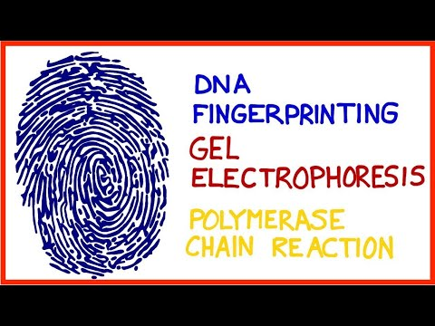 DNA Fingerprinting, Gel Electrophoresis, Polymerase Chain Reaction (PCR)