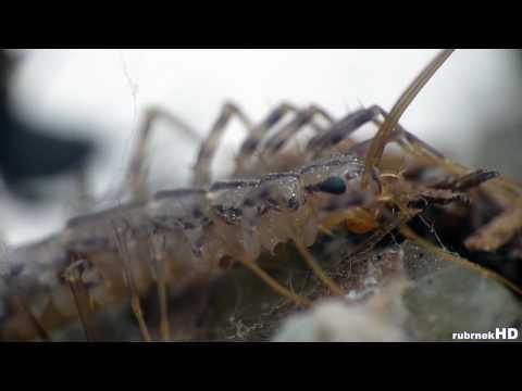 Spider And House Centipede - Super Macro