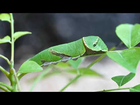 The Caterpillar That Eats Up All Our Curry Leaves And Citrus Leaves