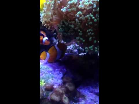 Clown fish beginning to lay eggs