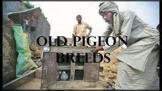 Old pigeon breeds - kabutaroo ki kuch purane naasle - Rampuri kamagar teddy golden pure teddy pigeon