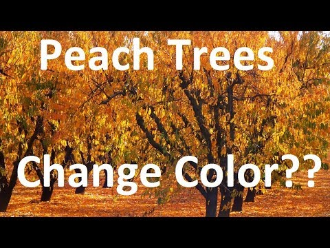 Do Peach Trees Change Color In The Fall ??