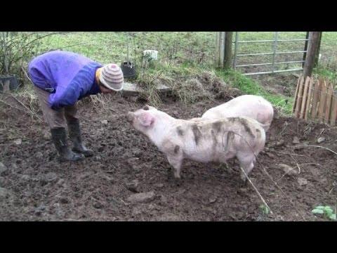 Home-Grown Organic Free-Range Pigs -- Part 2, Pigs Get Bigger.