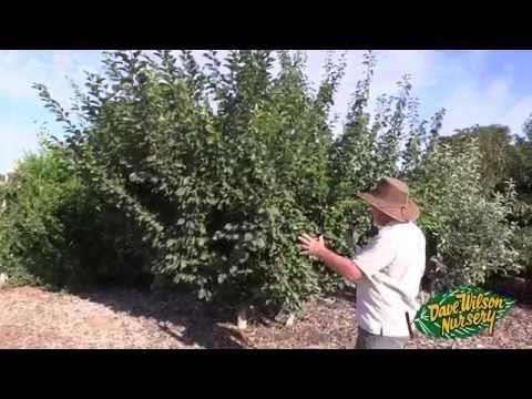 Summer Pruning Fruit Trees 2015