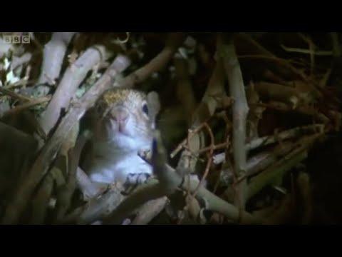 Newborn squirrels nesting | Wildlife on One | BBC
