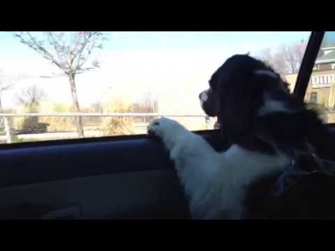 My dog barking outside the car window ..