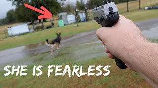 Fearless German Shepherd SAVED MY GOATS From Wild Coyote ATTACK!